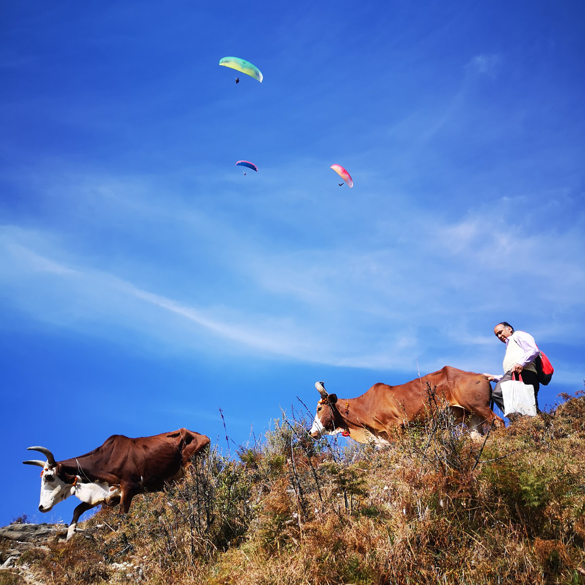 Paragliding Bir (Himalaya): climbing out over cows